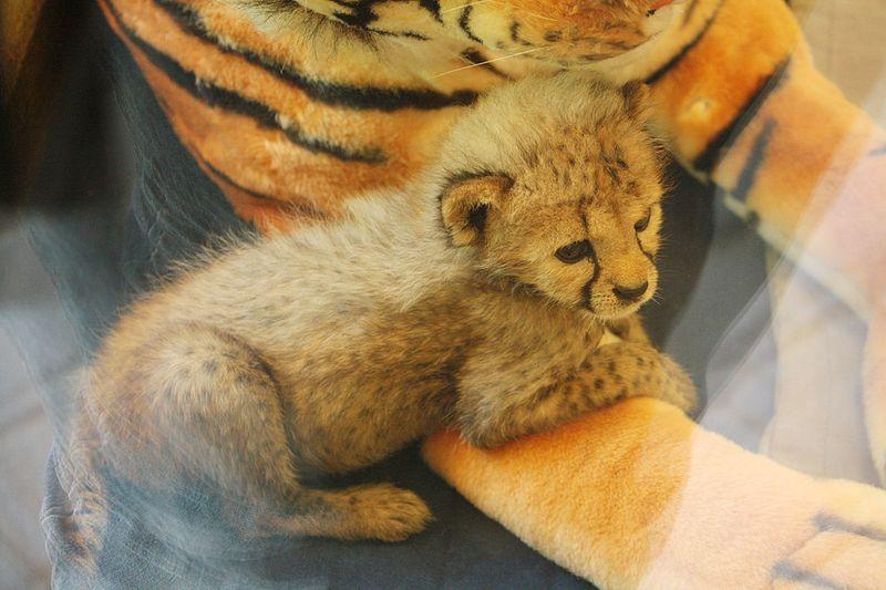 Cincinnati-Zoo-Cheetah-and-Keeper-4