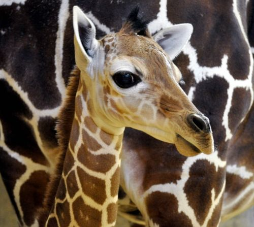 Great Plains Zoo Giraffe Calf 1