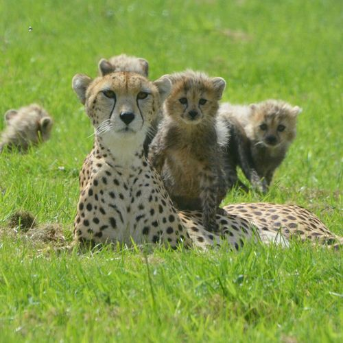 Cheetah-1-12432