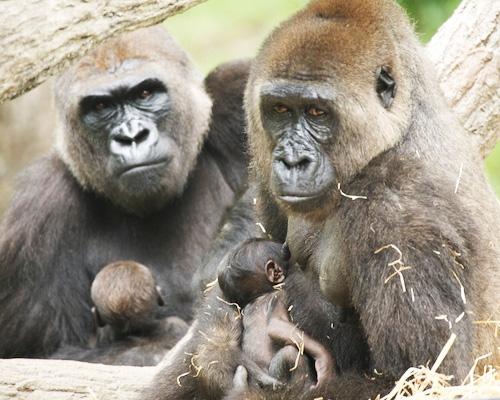 Baby-Gorilla-NC-Zoo-8