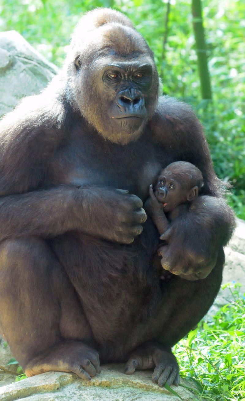 Baby-Gorilla-NC-Zoo-4