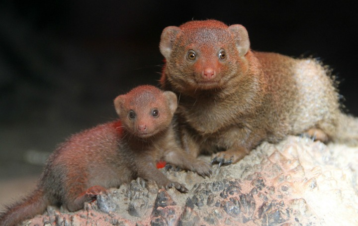 Mongoose 1