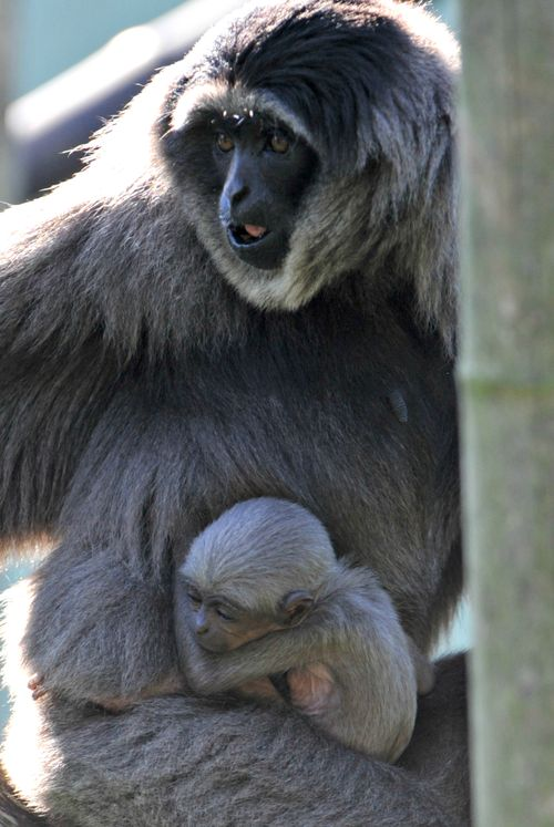 2Silbergibbon-Baby mit Mutter Pangrango_Hellabrunn_2012 (2)