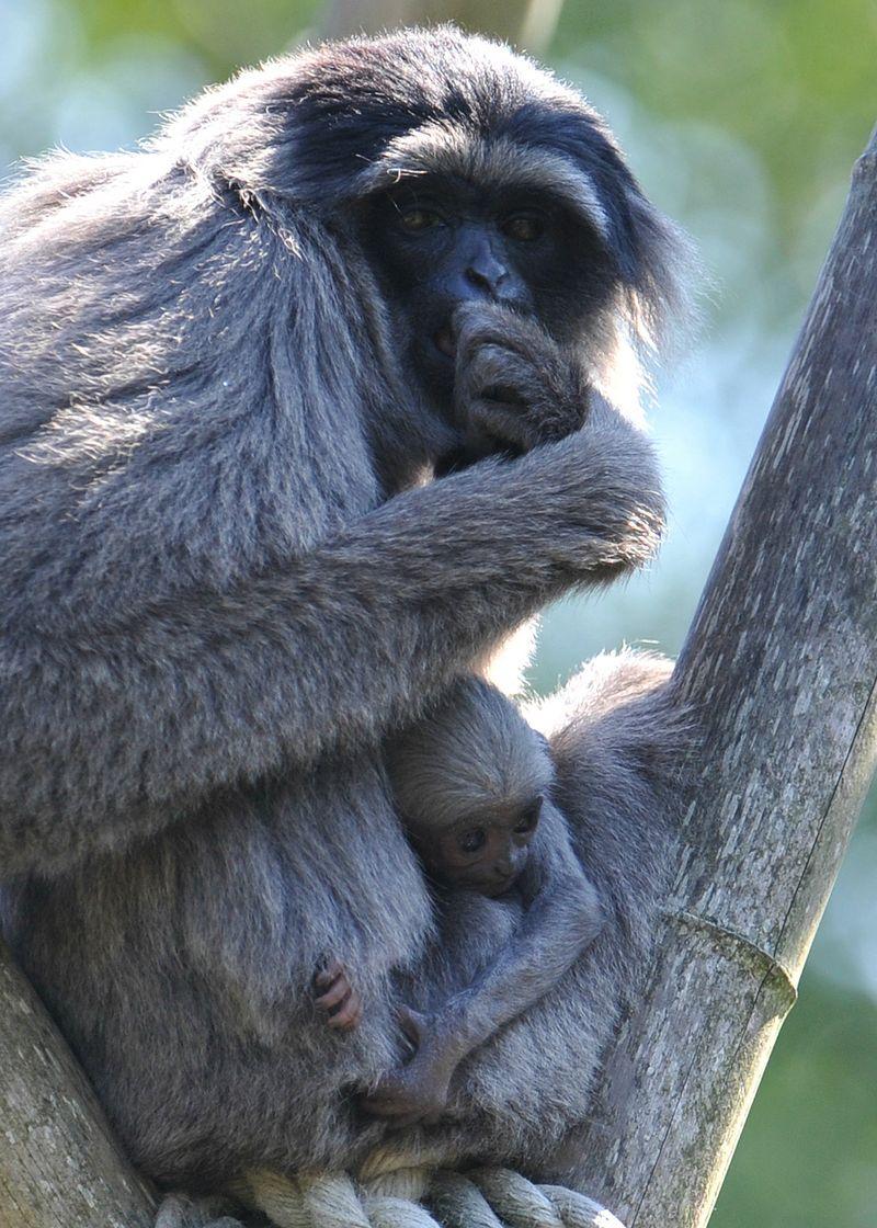 1Silbergibbon-Baby mit Mutter Pangrango_Hellabrunn_2012 (1)