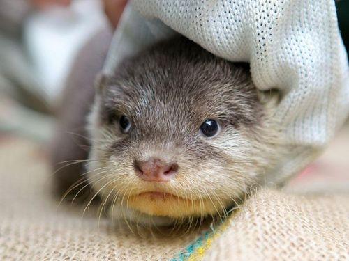 Perth Zoo Otters 13