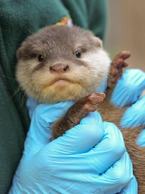 Perth Zoo Otters 3