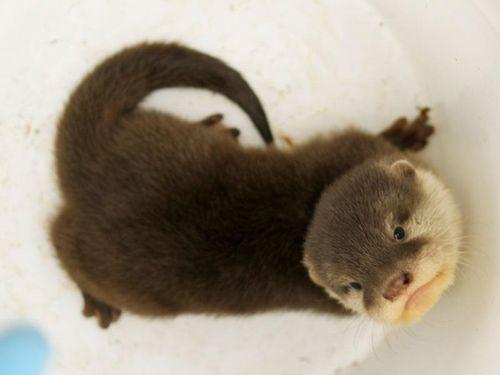 Perth Zoo Otters 5