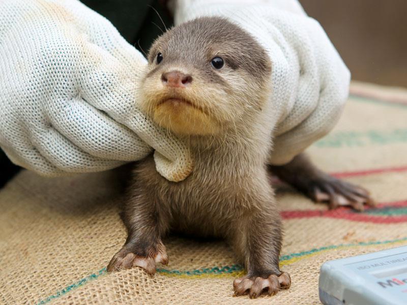 Perth Zoo Otters 8
