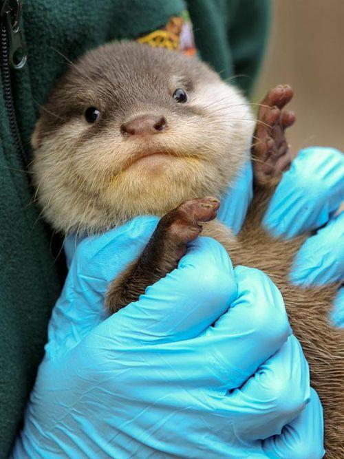Perth Zoo Otters 7