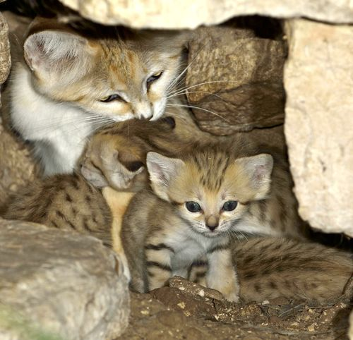 Sand Cat Kittens and Mom 2