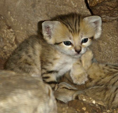 San Cat Kitten Solo