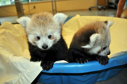 Great-Plains-Zoo-Red-Panda-Cubs-3