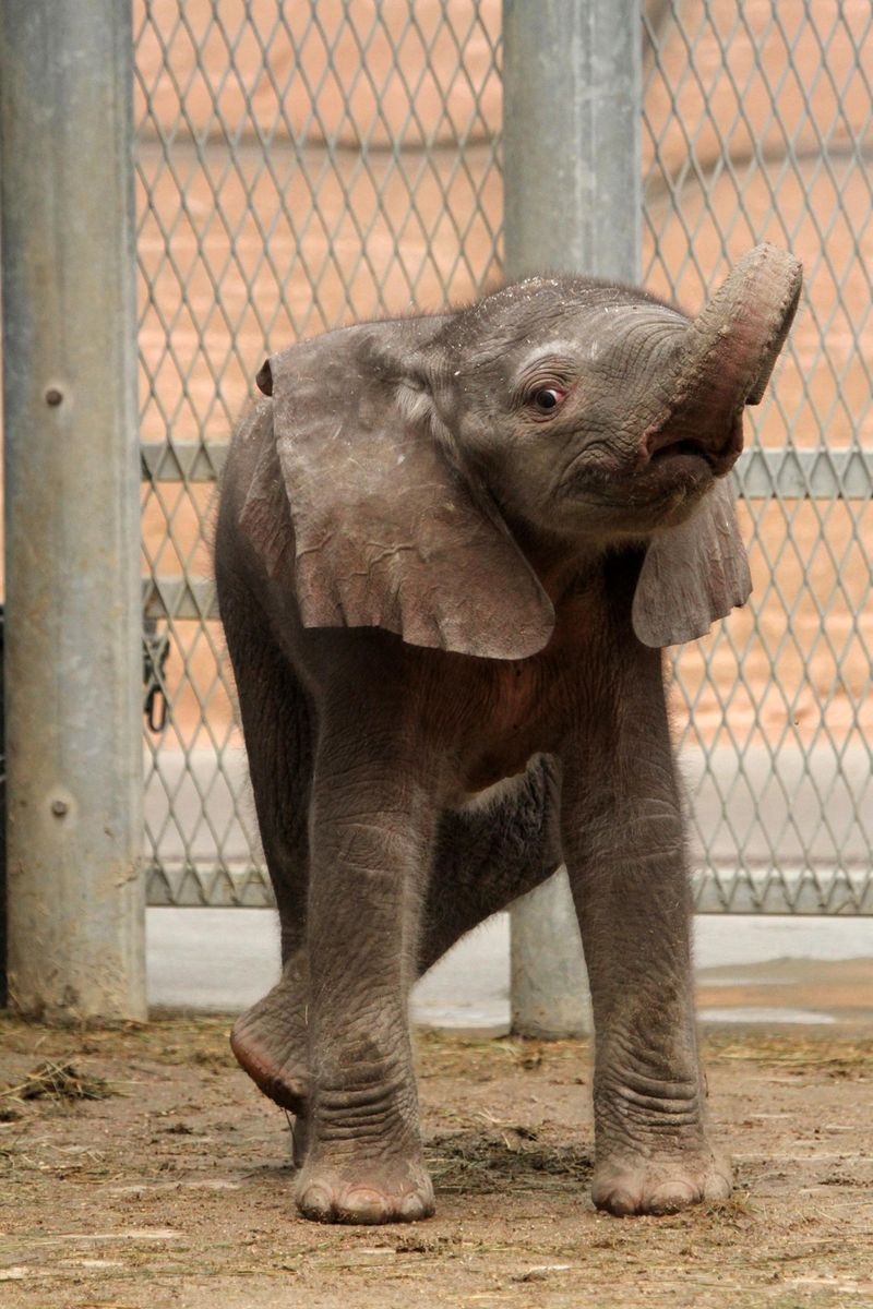 Zoo_De_Beauval_African_Elephant_5
