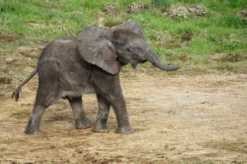 Zoo_De_Beauval_African_Elephant_6