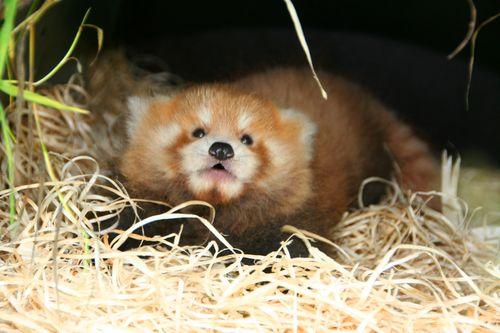 Planckendael-Red-Pandas-6