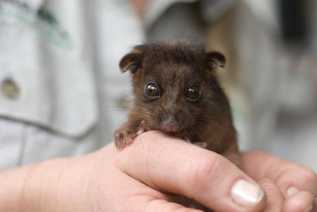 Taronga Zoo Possum Lorinda Taylor 3