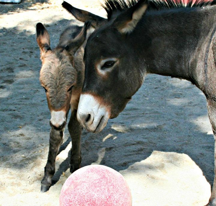 Donkey foal720-2