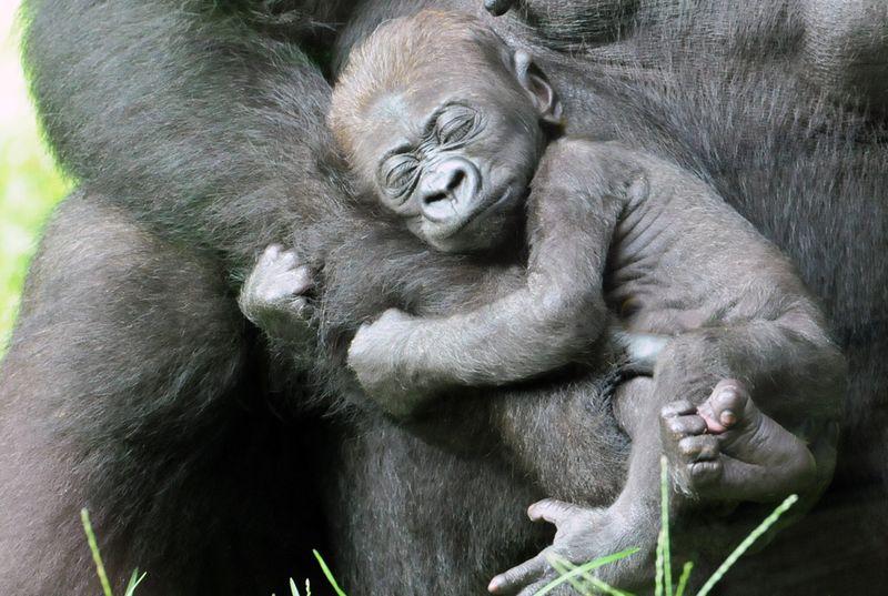 Baby-Gorilla-NC-Zoo-5