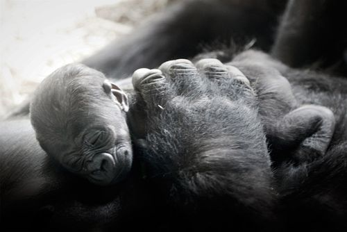 Baby-Gorilla-NC-Zoo