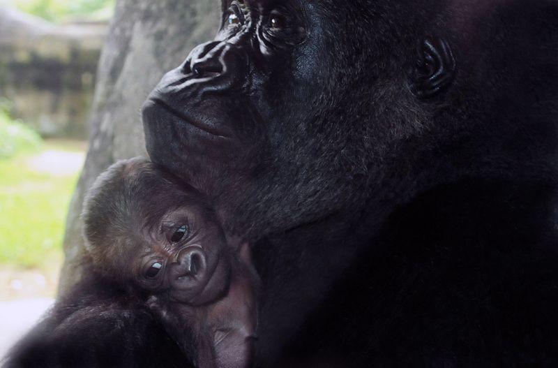 Baby-Gorilla-NC-Zoo-7