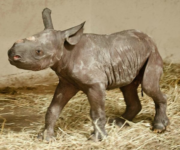 Baby Rhino Born At Pittsburgh Zoo The First In Forty