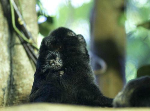 189604_Baby-Goeldi's-MonkeyNeilFisher2