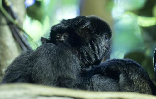 Baby-Goeldi's-Monkey NeilFisher