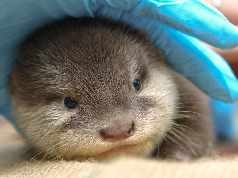 Perth Zoo Otters 2