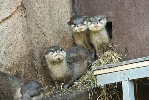 Perth Zoo Otters 6