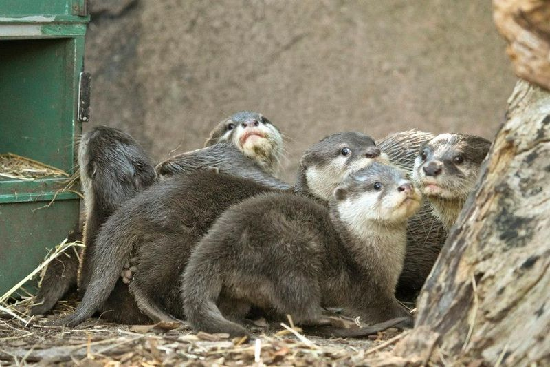 Perth Zoo Otters 14
