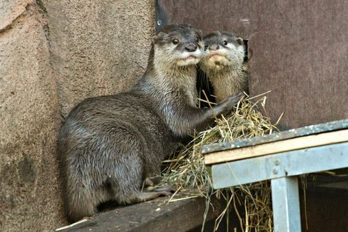 Perth Zoo Otters 12