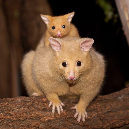 Golden-Possum-with-Baby