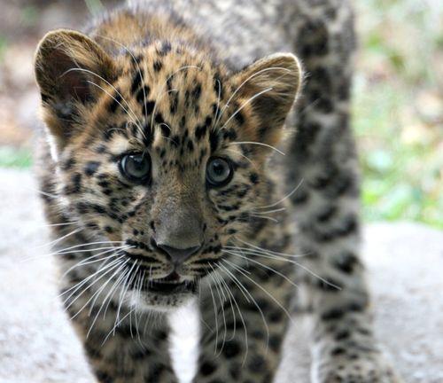 4Amur Leopard Cubs2 205