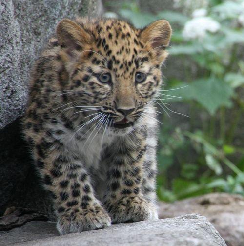 3Amur Leopard Cubs2 151