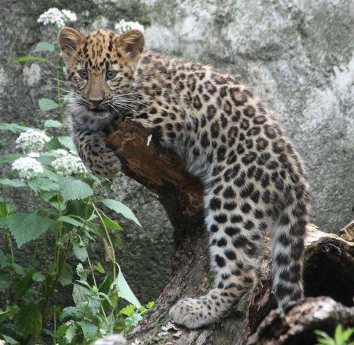 2Amur Leopard Cubs2 063