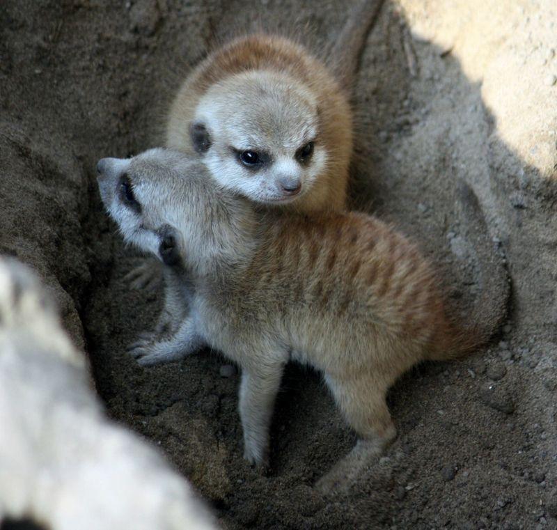 1CleMetZoo meerkat kits hi res 1