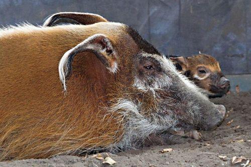 Hog 2