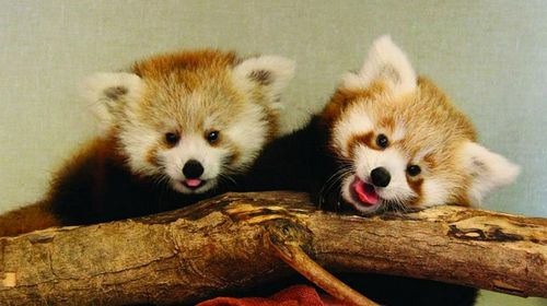 The Memphis Zoo Now Has Two Baby Red Pandas Meet Lucille On Right Newest Cub Who Was Born At Bronx End Of June And Transferred