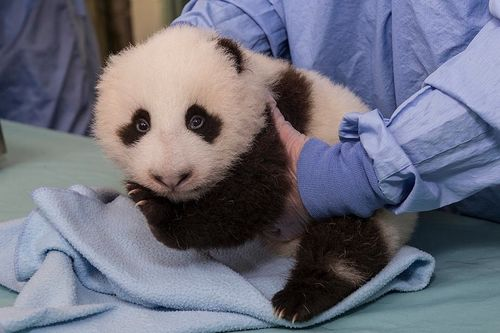 SD panda