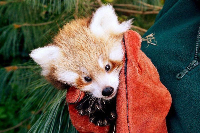Red-Panda-_-Paignton-Zoo2_kead