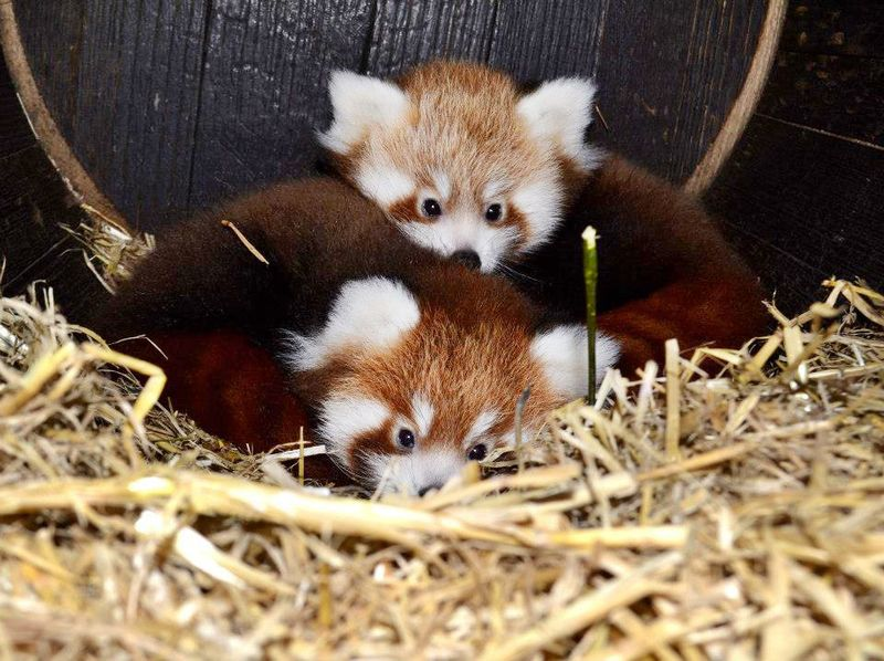 Red-Panda-_-Paignton-Zoo