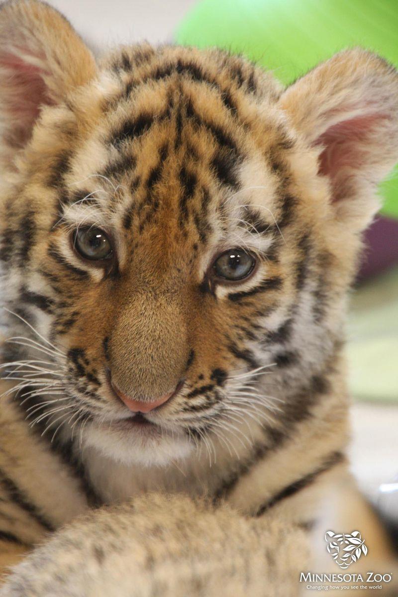MN-Zoo-Tiger-Cub3