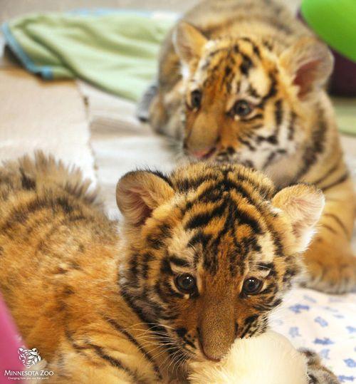 MN-Zoo-Tiger-Cub4