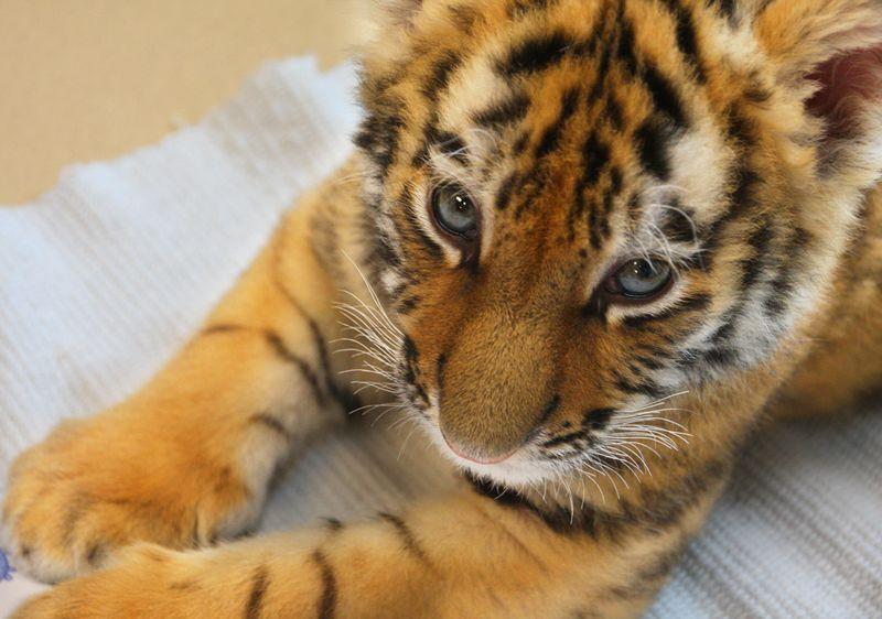 MN-Zoo-Tiger-Cub