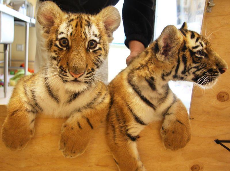 MN-Zoo-Tiger-Cub2
