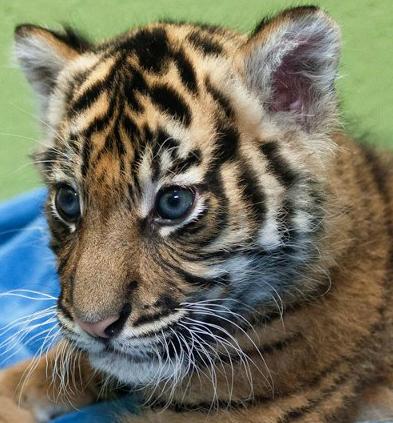 Tiger cubs2
