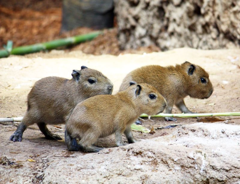 CleMetZoo-baby-capybaras