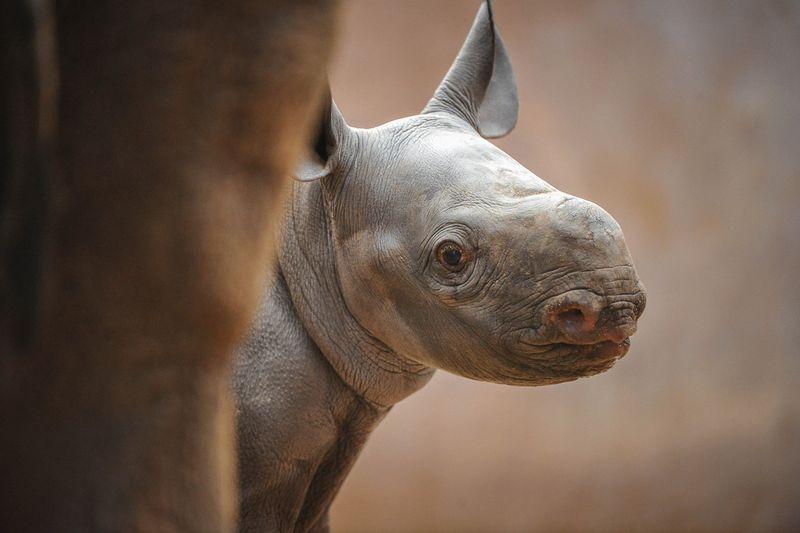 BabyRhino-1