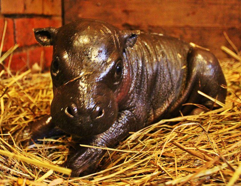 Zoo-Wroclaw-Pygmy-Hippo-2