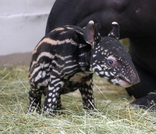 Baby Tapir Dumadi at Denver Zoo 3